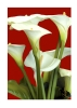 calla-lilies-red