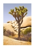 joshua-tree-w-river-rocks