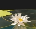 Waterlily with Pod