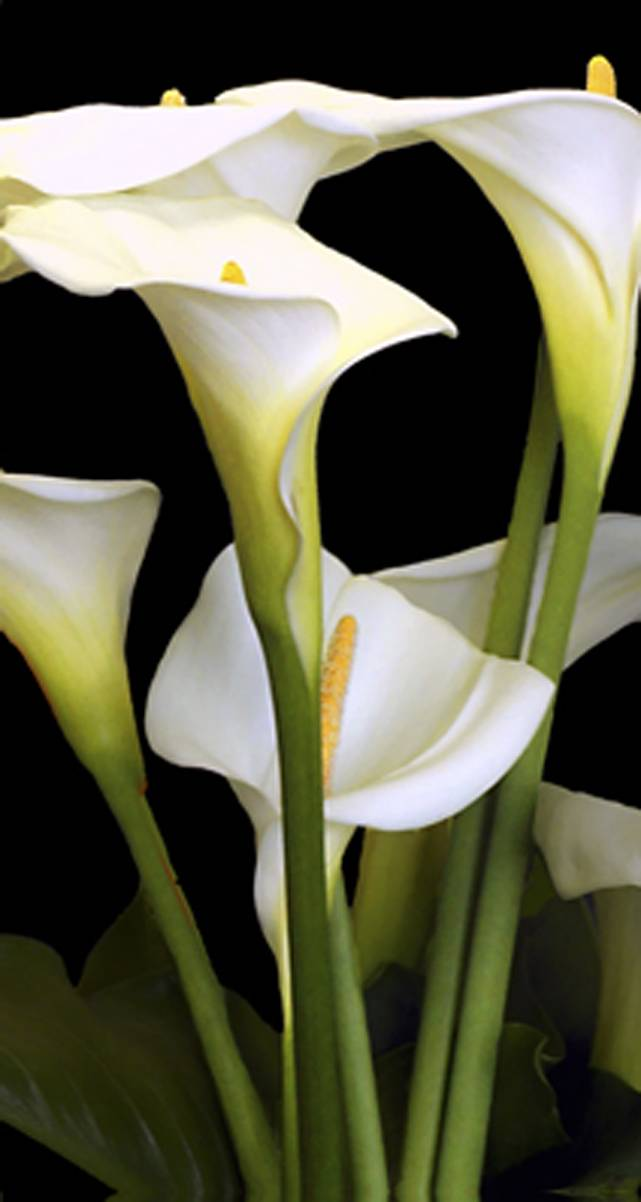 flowers cartoon black and white. calla white cartoon plant