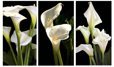 Note cards - Calla Lilies