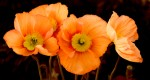 Canvas Wall Art - Poppies