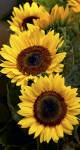Sunflower III Tall
