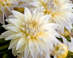 canvas wall art - dahlia