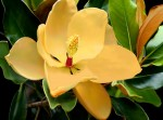 canvas wall art - magnolia