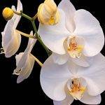 canvas wall art - orchid