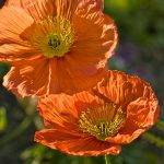 canvas wall art - poppy