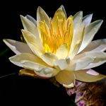 canvas wall art - waterlily