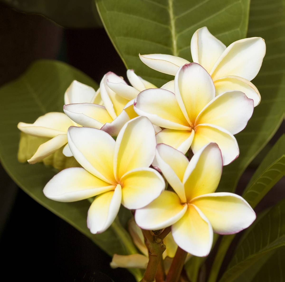 Plumeria - Fine Art Prints and Original Oil Paintings