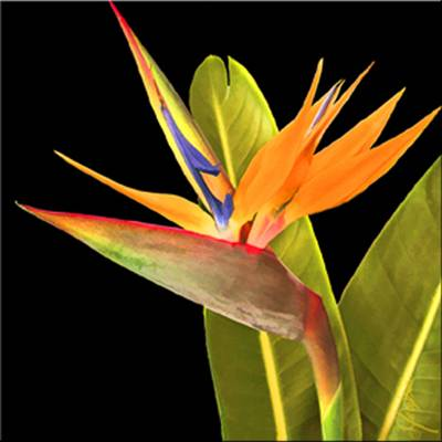 Bird of Paradise - Art Tile Coaster