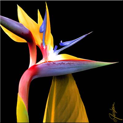 coaster - bird of paradise flower