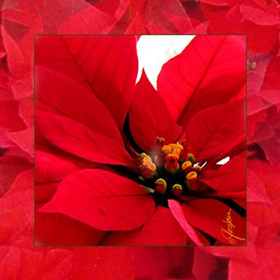 Poinsettia - Coaster - Tile Art