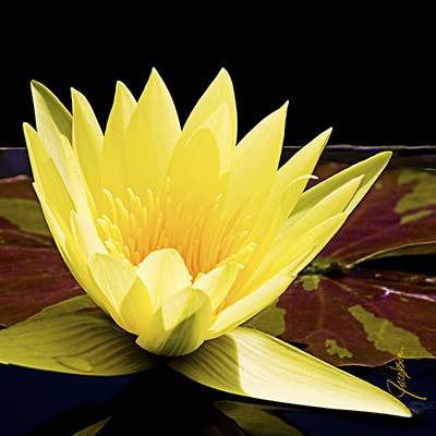 coaster - Tile Art - Waterlily