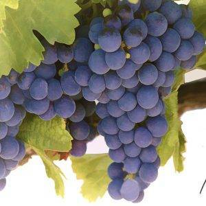 Grapes Malbec